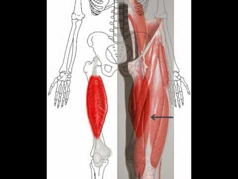 Quadriceps Muscles - YouTube