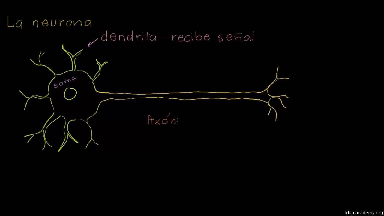 Anatomía de una neurona - YouTube