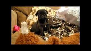 Pug Puppies For Sale Nov 28,2012