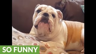 Grumpy bulldog in bad mood for no reason at all