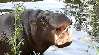 Hippo (Hexaprotodon liberiensis) - ZOO Zamość