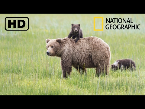 NATIONAL GEOGRAPHIC - Дикая природа Аляски! Бурые медведи и обилие вулканов! (09.02.2017)