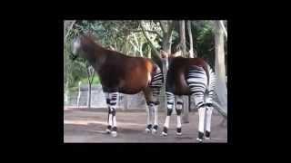 Окапи   лесной жираф