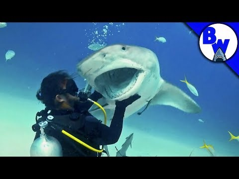 Tiger Shark Encounter