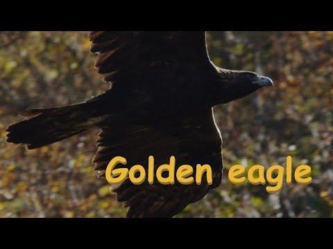 Golden Eagle イヌワシ 中部の山 10月中旬その1 野鳥FHD 空屋根FILMS#1114