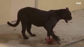 محمية العرين في المنامة تحتفل بتواجد النمر الأسود