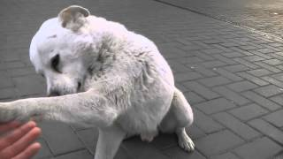 funny white dog или Собака по кличке белый