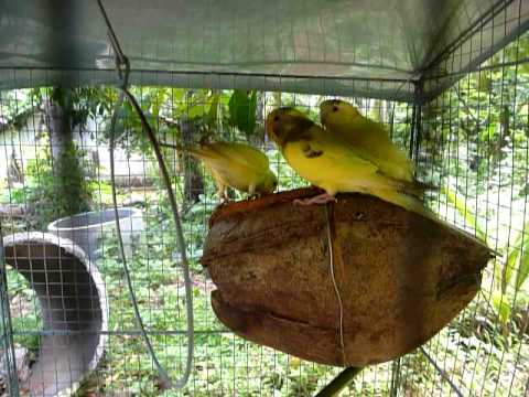 Sri Lanka,ශ්‍රී ලංකා,Ceylon,Budgerigars,Wellensittich,Peruche,Coconut as Nest