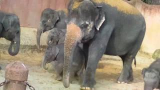 Erlebniszoo Hannover-Adventure Zoo-Asiatische Elefantenherde-Asian Elephant Herd-Teil 4