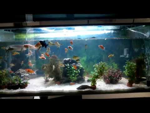 Arwana Silver, Belida, Hiu Air Tawar, Ikan Mas, Ikan Komet, Koki.