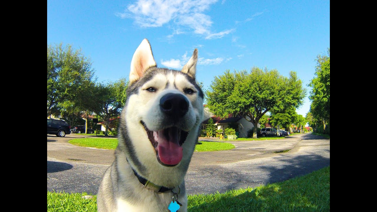 Happy Husky! Top 5 Daily Things!