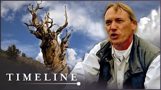 Oldest Tree On Earth: The Curse Of The Methuselah Tree (Nature History Documentary) | Timeline