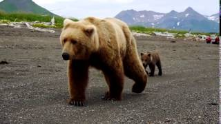 Brown Bear Encounter 野生の熊とすぐ間近ですれ違った! thumbnail