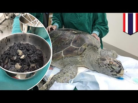 Turtle swallows coins: Surgeons find 915 coins inside endangered green sea turtle - TomoNews