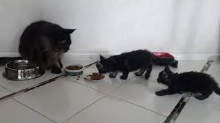 котята мейн кун, воспитание
