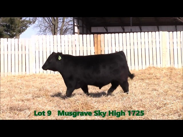 Musgrave Angus Lot 9