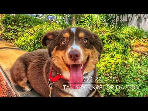 8 Month Old Mini Australian Shepherd 'Guffin' | Tallahassee Dog Trainers | Best Aussie Dog Trainers