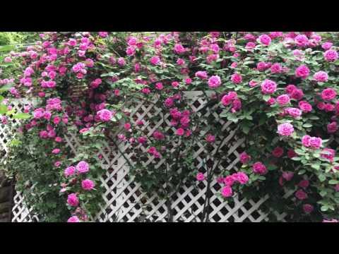 A huge climbing rose on trellis
