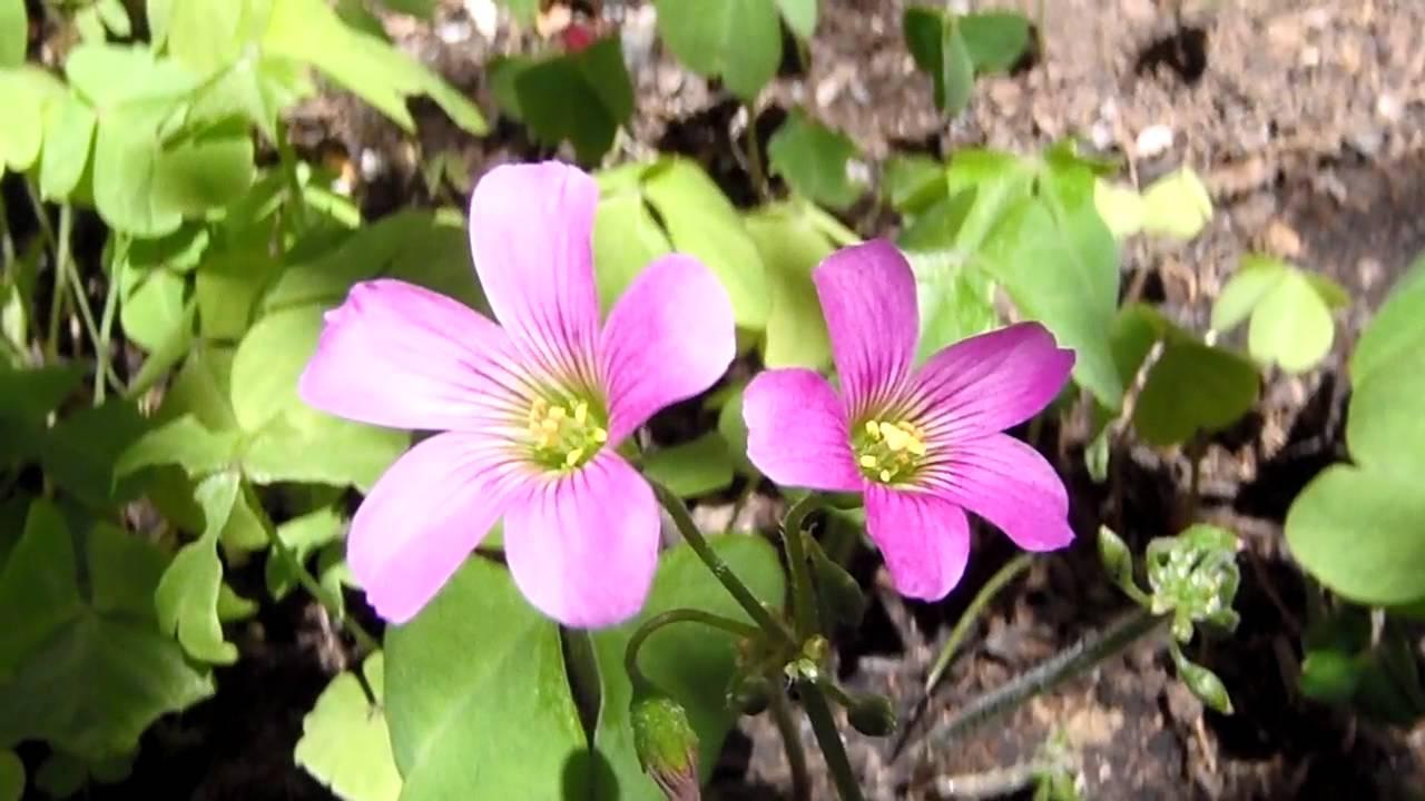 Oxalis (flor del trébol, pero no es trébol) | Project Noah