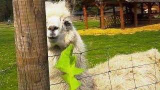 Цесис. Верблюжий парк Ракши.  Зоопарк в Цесисе.