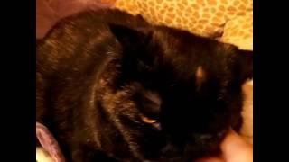 Британская кошка чёрная черепаха, в добрые руки.