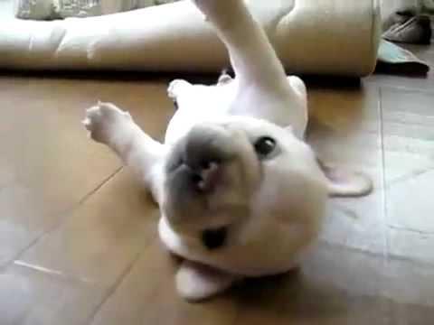 O cachorrinho que não sabe rolar