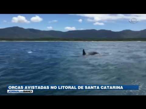 Orcas são vistas no litoral de Santa Catarina