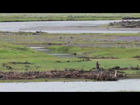 Wolves at Yellowstone 2 June 2017 MVI 4466