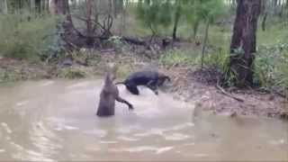 Кенгуру VS собака  БОЙ