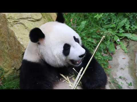 Visiting the Panda's