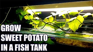 Grow Sweet Potato In Aquarium - Nitrates Filter, No CO2, No Fertilizer