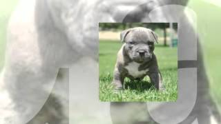 House Training A Pitbull Puppy