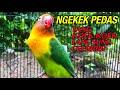 Lovebird Ngekek Panjang Full Durasi  Mp3 - Mp4 Download