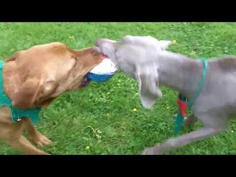 Bella Boo & Bernie Weimaraner & Labrador having the craic.
