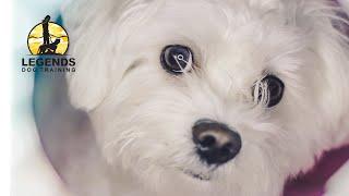 Maltese Poodle: Training Games