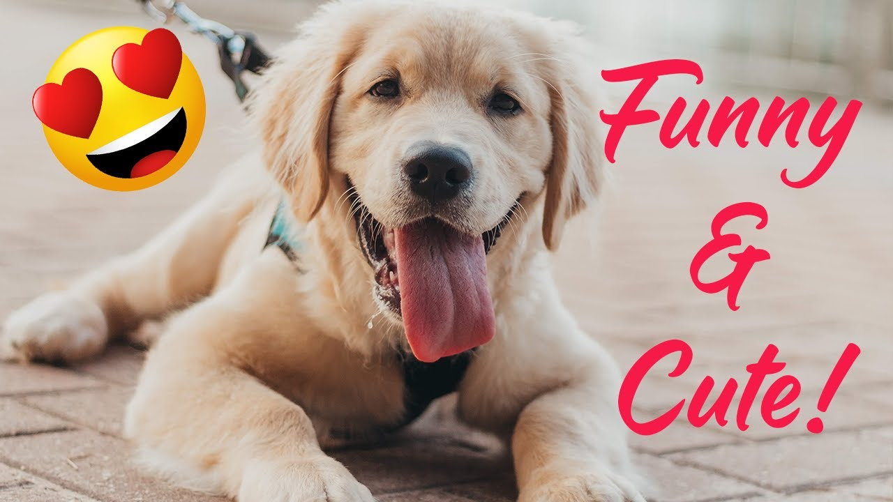 ULTIMATE Funiest & Cutest Golden Retriever Videos Compilation 2020! ❤️
