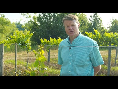 Ison's Nursery How To Train a Muscadine Vine to grow to the Top of the Wire