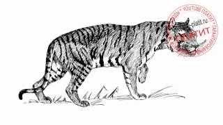 Как нарисовать свирепого тигра карандашом на охоте(Как нарисовать тигра поэтапно карандашом за короткий промежуток времени. Видео рассказывает о том, как..., 2014-07-10T14:01:53.000Z)