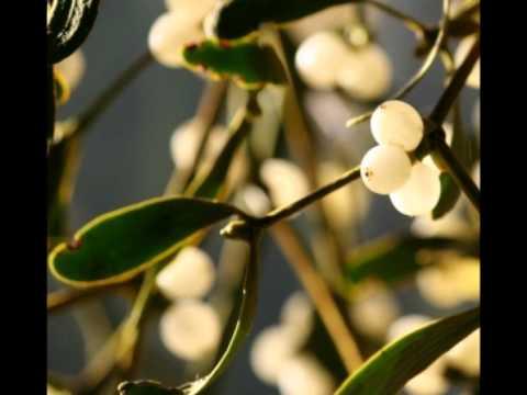 Омела белая - применение, противопоказания, лечение
