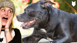 How Much Does A STAFFORDSHIRE BULL TERRIER Cost?
