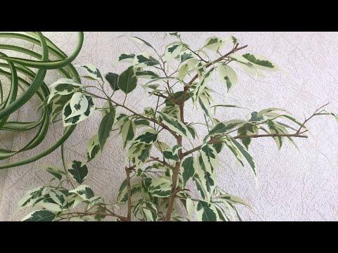 О нюансах выращивания фикусов пестролистных