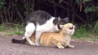 交尾後半の喘ぎがニャィ~!絶妙なオスの攻めに喘ぐメス猫。野良猫物語 47話 thumbnail