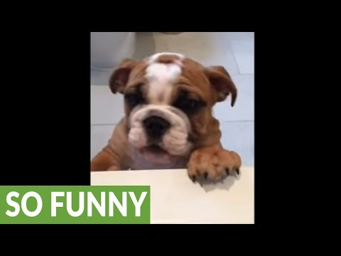 Bulldog puppy desperately wants to join owner for bath time