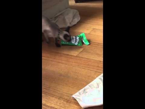 Siamese cat getting the treats