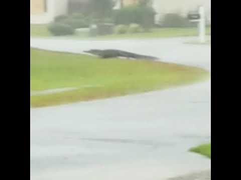 Damian Rhodes - Hurricane Florence Brings Alligator to Neighborhood
