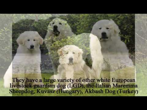 The Great Pyrenees is a large, shepherding dog