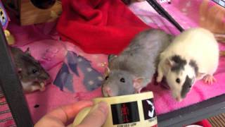 My Take on Rat Bite Fever