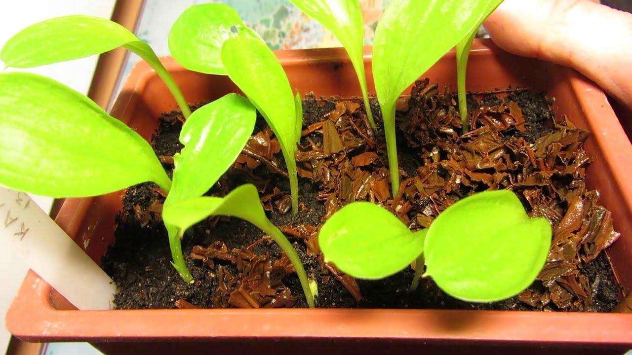 Каллы размножение семенами