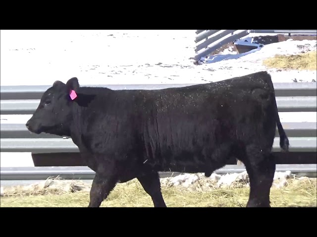 Connealy Angus Lot 310