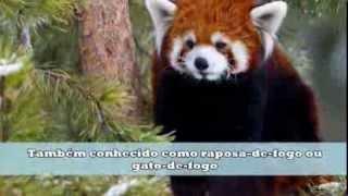 Conheça o Panda Vermelho